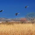 Cranes In Flight by Barbara Manis