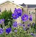 Cranesbill Blue Geranium by Laurie Eve Loftin