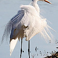Crazy Egret Feathers by Carol Groenen