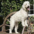 Cream Labradoodle On Wooden Chair by John Daniels