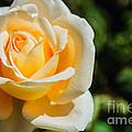 Cream Rose by Tikvah's Hope