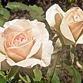 Creamy Roses by Stephanie Moore