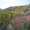 Creosote And Chuparosa On Henderson Trail In Santa Rosa-san Jacinto Nmon-ca by Ruth Hager