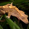 Crested Gecko Rhacodactylus Ciliatus by David Kenny