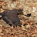 Crested Serpent Eagle by David Beebe