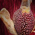 Crimson Canna Lily Bud by Bill Tiepelman