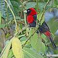 Crimson-collared Tanager by Mike Dickie
