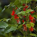 Crimson Flowers by Paul Weaver