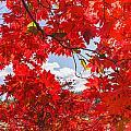 Crimson Red Leaves Background by Carol VanDyke