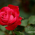Crimson Rose by Living Color Photography Lorraine Lynch