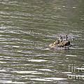 Crocodile   #0579 by J L Woody Wooden