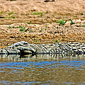 Crocodile In Watering Hole In Kruger National Park-south Africa by Ruth Hager