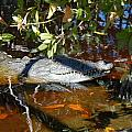 Crocodile  by Mitchell Rudin