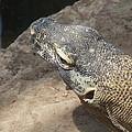 Crocodile Monitor by Virginia Kay White