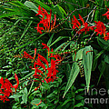 Crocosmia In Red by Mother Nature