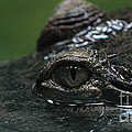 Croc's Eye-1 by Gary Gingrich Galleries