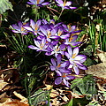 Crocus Amongst The Leaf Litter by Kenny Glotfelty
