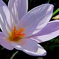 Crocus Flower by Joyce Woodhouse