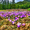 Crocus Flower Valley by Pati Photography