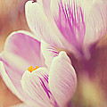 Crocus by Kim Fearheiley