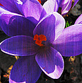 Crocus Purple And Orange by Patricia Januszkiewicz