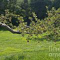 Crooked Apple Tree by Ray Konopaske