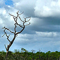 Crooked Tree On Crooked Island by Julie Dant