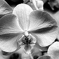 Cross Orchid by William Dey