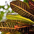 Croton by Gaurav Singh