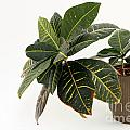 Croton Houseplant by Lee Serenethos