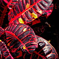 Croton Leaves In Black And Red by Michele Myers
