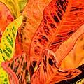Croton's Many Colors by Maria Urso