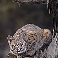 Crouching Bobcat Montana Wildlife by Dave Welling