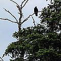 Crow - Black  Bird - Loud Call by Barbara Griffin