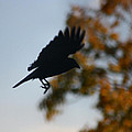 Crow In Flight 1 by Gothicrow Images
