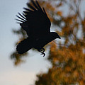 Crow In Flight 2 by Gothicrow Images