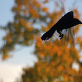 Crow In Flight 3 by Gothicrow Images