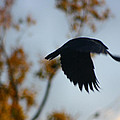 Crow In Flight 4 by Gothicrow Images