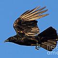 Crow In Flight by Meg Rousher