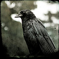 Crow In The Summer Rain by Gothicrow Images