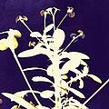 Crown Of Thorns - Indigo by Shawna Rowe