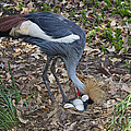 Crowned Crane And Eggs by Anthony Mercieca