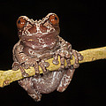 Crowned Frog Costa Rica by Ingo Arndt