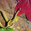 Crowned Snake by Buddy Mays