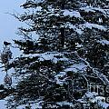 Crows Perch - Snowstorm - Snow - Tree by Barbara Griffin