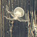 Crstal Jellyfish by Iris  Schechter
