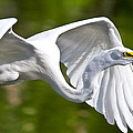 Cruising Egret by Andres Leon
