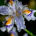 Crying Fringed Iris-iris Japonica by Eti Reid
