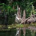 Crystal River Egret by Skip Willits