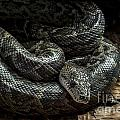 Cuban Boa by Arterra Picture Library